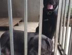 优质杜高犬 卡斯罗犬出售 品相一流 精品 自家养殖 上门看狗