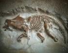 私人收购化石 高价交易古玩古董