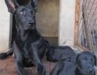纯种黑狼犬价格黑狼犬多少钱一只