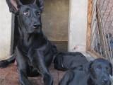 黑狼犬可以长多大
