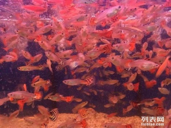 孔雀鱼活体成鱼生态鱼缸水族箱养的小热带鱼观赏鱼深圳