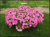 新大洲花卉苗木出售优质矮牵牛 内蒙古矮牵牛