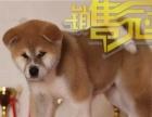 宫本血系日系秋田幼犬质保出售 带秋保证书可刷卡