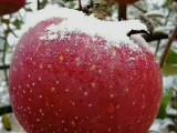昭通蘋果-昭通蘋果-經歷風雪的昭通蘋果