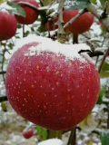 昭通苹果-昭通苹果价格-经历风雪的昭通苹果