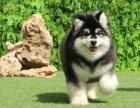 长相超好的一窝阿拉斯加幼犬出售,价格可以商量哦