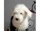 纯种超可爱古牧犬白头通背双杏眼体态完美保健康包疫