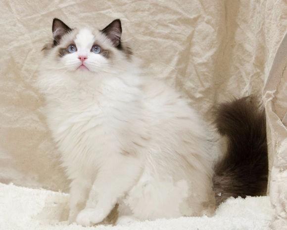 重庆哪里有布偶猫卖 海豹双色 重点手套均有CFA认可多只可挑