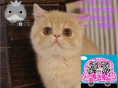 小米猫苑长期波斯猫 长毛波斯猫 白波斯猫 (包纯种健康)