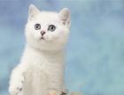 自家繁殖包纯种英国短毛猫 蓝猫 蓝白双色公母都有出