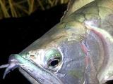 宠乖水族 银龙鱼(红尾精品) 热带鱼 大型宠物鱼 500起拍 中