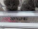家养蓝猫一窝5只折耳,加菲公一只!