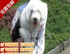 宠物狗【古代牧羊犬】视频看狗-免费送货上门