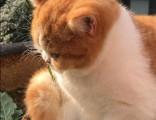 上海广州深圳北京赛级英短猫价位 淘宝搜:双飞猫