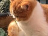 杭州南京苏州宁波布偶折耳波斯短毛猫连锁店 双飞猫