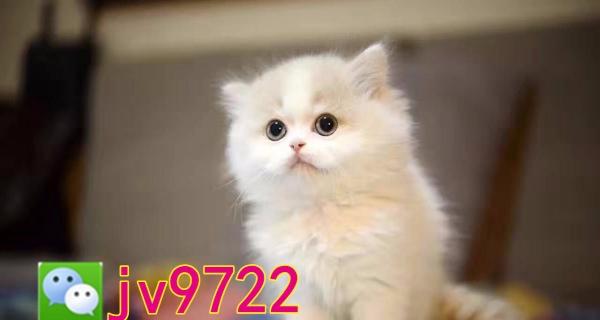 苏格兰折耳猫/虎斑折耳/美短折耳2个多月有视频