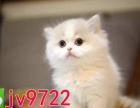 繁殖纯种猫蓝猫渐层美短暹罗加菲布偶签协议包售后
