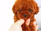 纯种泰迪幼犬出售 疫苗驱虫做好包健康全国送货上门