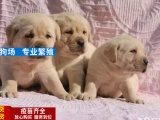 出售纯种拉布拉多幼犬 赛级品质 健康质保 免费送货