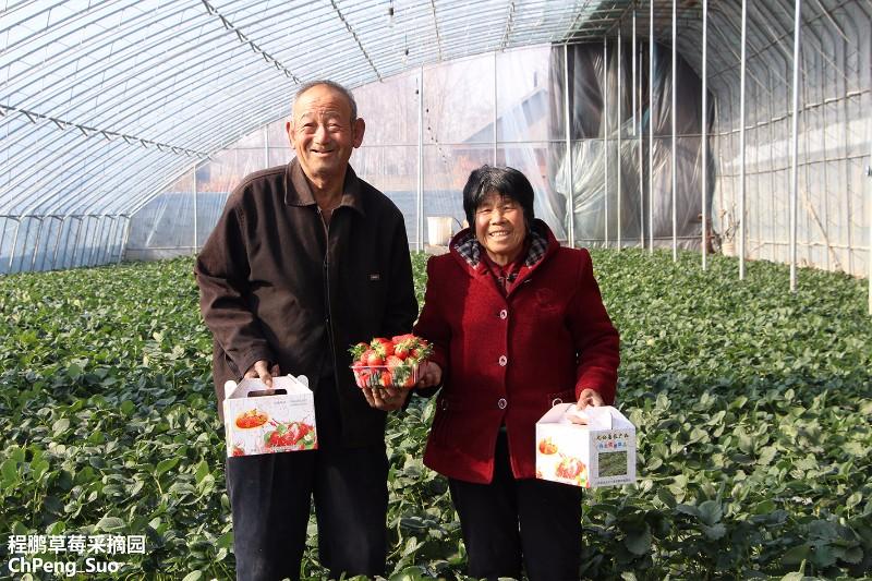 即墨马山北张戈庄程鹏草莓采摘园