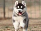 精品西伯利亚(哈士奇)出售,雪橇犬保健康,包纯种