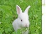 出售自家养殖兔子(疫苗已打)