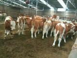 西門塔爾小母牛價格