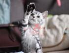 西安哪里有卖蓝猫幼崽 西安较便宜蓝猫多少钱一只保健康