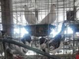 唐山唐海肉鸽养殖场出售肉鸽种鸽和乳鸽