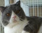 雅彩家12大帅哥美短,英短,加菲猫对外配种1000