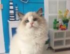 【蔚蓝天使猫舍】多只布偶、德文种公对外限量借配