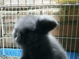 长期出售宠物兔:垂耳猫猫侏儒