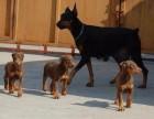 犬舍高品质杜宾幼犬 头版正 骨量大 色素深