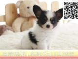 纯种健康蝴蝶犬幼犬超萌超可爱三月退换保纯保健康