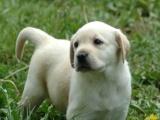求购拉布拉多幼犬 因为女儿说她的生日礼物就是找个伴