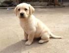 三百六出售我家的一窝纯种温顺乖巧拉布拉多幼犬