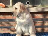 鄭州哪里有拉布拉多犬 拉布拉多多少錢包純種健康 CKU認證