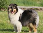纯那种双血统苏格兰牧羊犬健康保障60天 送货上门
