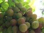 山野水寨手把手教您体验,葡萄的成长经历