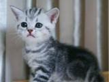 北京崇文超萌虎斑猫一般多少钱一只