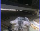 喜欢折耳猫的来咯 好可爱