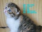 纯种苏格兰虎斑折耳猫出售