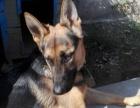 出售家养德国牧羊犬