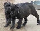 纯种意大利纯血统卡斯罗护卫犬幼犬出售保证健康
