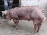 石河子三元猪长白仔猪小苗猪价格育肥小猪价