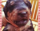 精品万能梗幼犬/实物拍摄/纯种健康质保可签协议