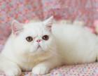 猫舍繁育加菲猫 数量多颜色全 公母均有