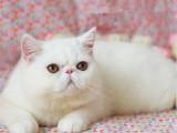厦门猫舍繁育加菲猫 数量多颜色全 公母均有