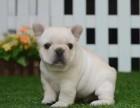 上海出售奶油色法国斗牛犬纯种法斗幼犬出售法国斗牛犬出售