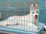 黃金血統的純種的三火藍眼哈士奇幼犬火熱出售